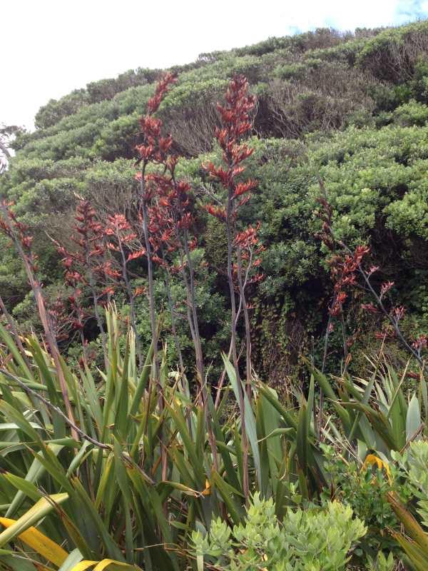 Flax flowers Muriwai