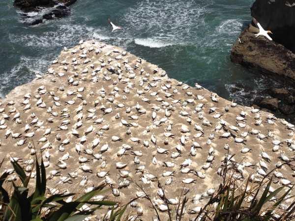 Muriwai gannet colony 2