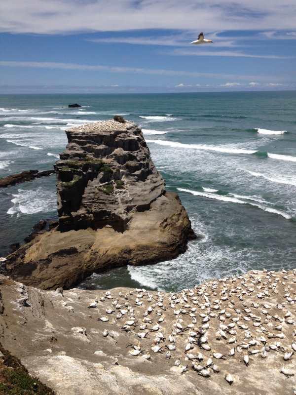 Muriwai gannet colony 3