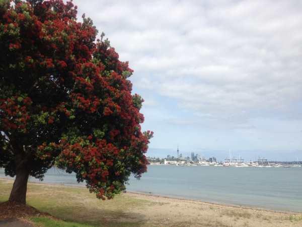 Pohutukawa Tree,  Auckland Harbour