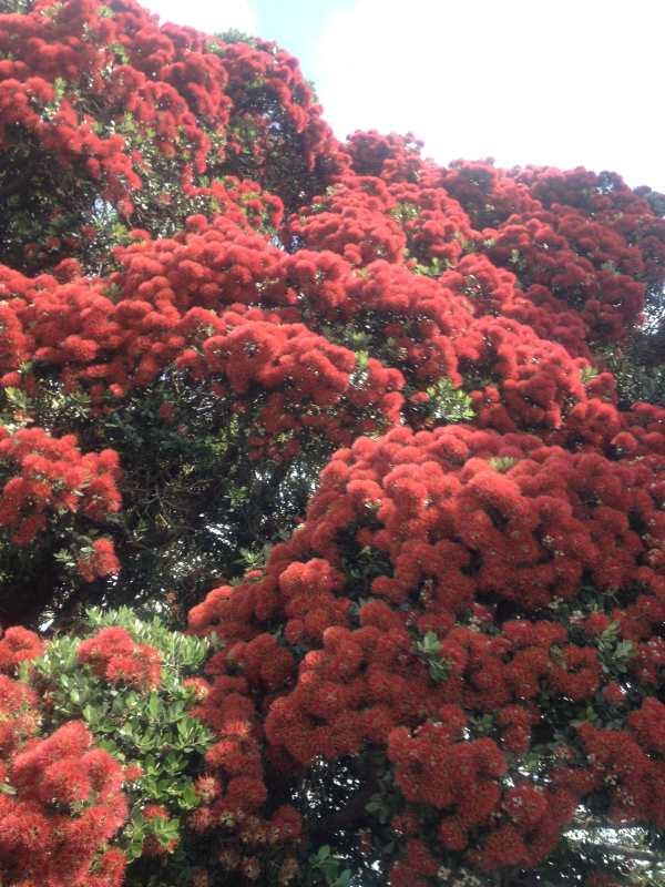 Pohutukawa flowers 1