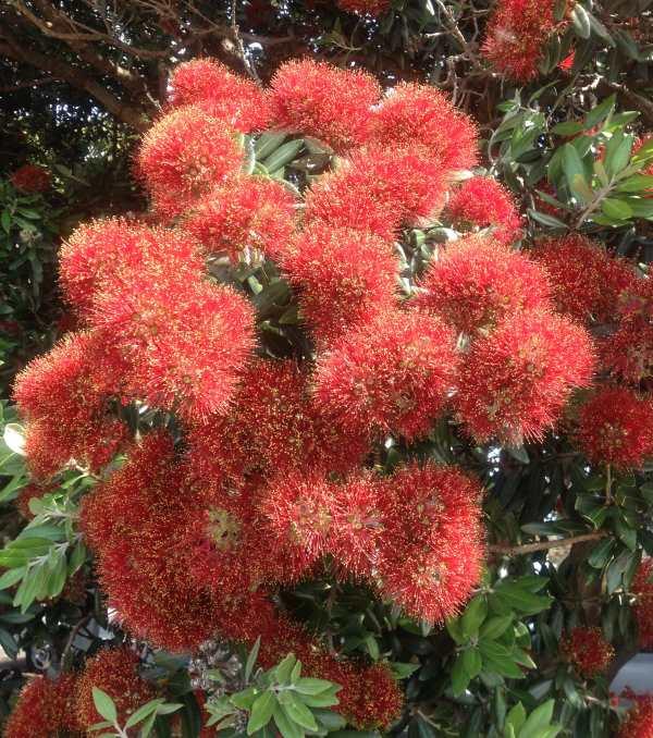Pohutukawa flowers 2